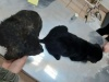 2 Black Puppies Rescued