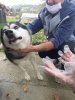 Chained Husky Dog Rescued